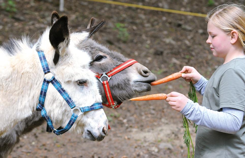 Mädchen füttert zwei Esel mit Mohrrüben
