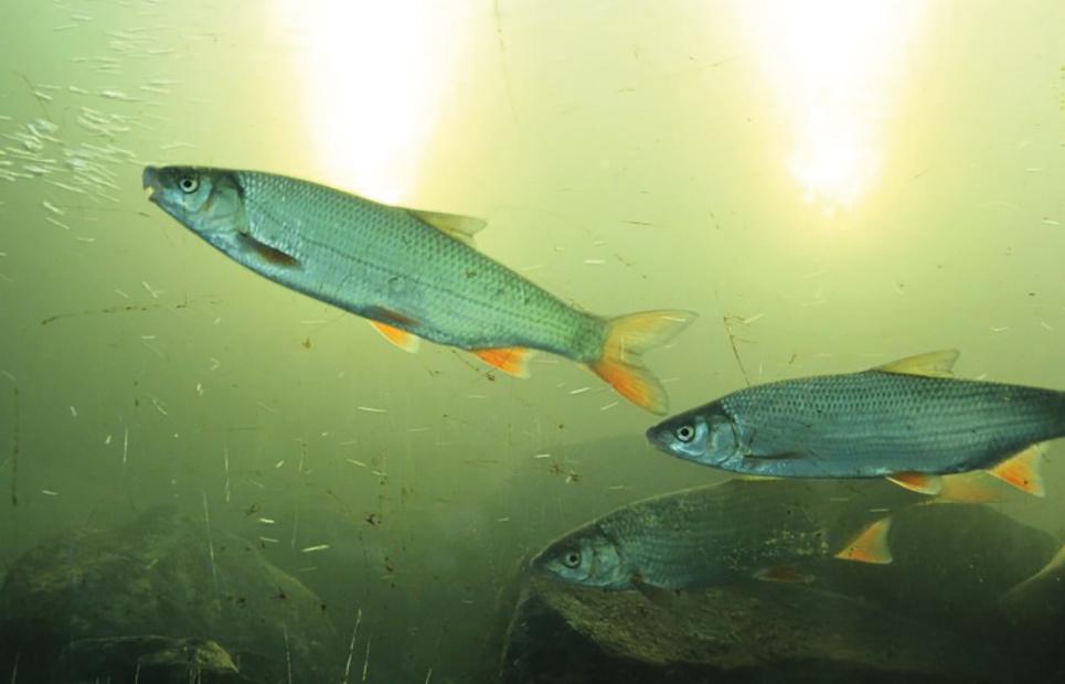 Nahaufnahme von Fischen in der Lahn
