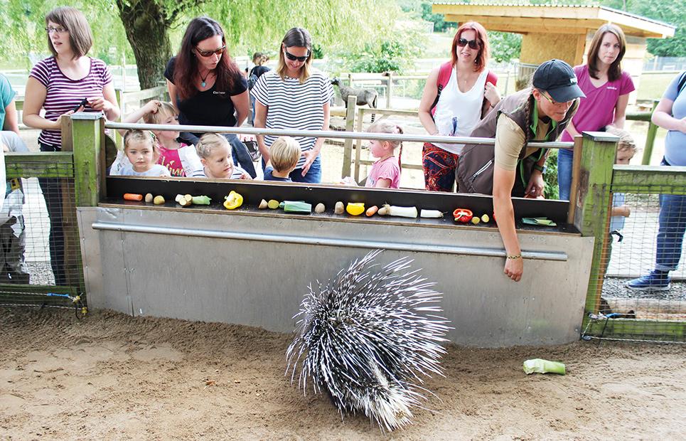 Ein Stachelschwein in seinem Gehege, davor Besucher, die es zum Fressen animieren möchten